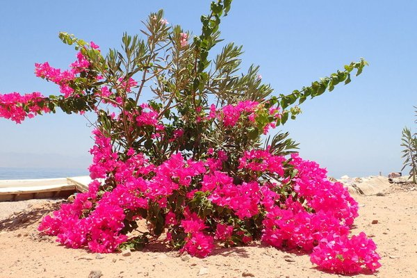 Bedouin Star (Ras Shetan area) - 14
