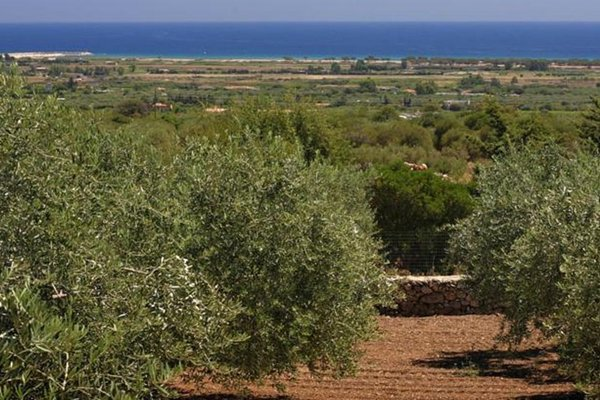 Holiday Olive Trees - 3