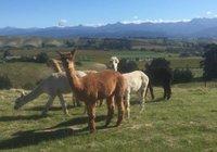 Отзывы Falcon's Rise Alpaca Farm